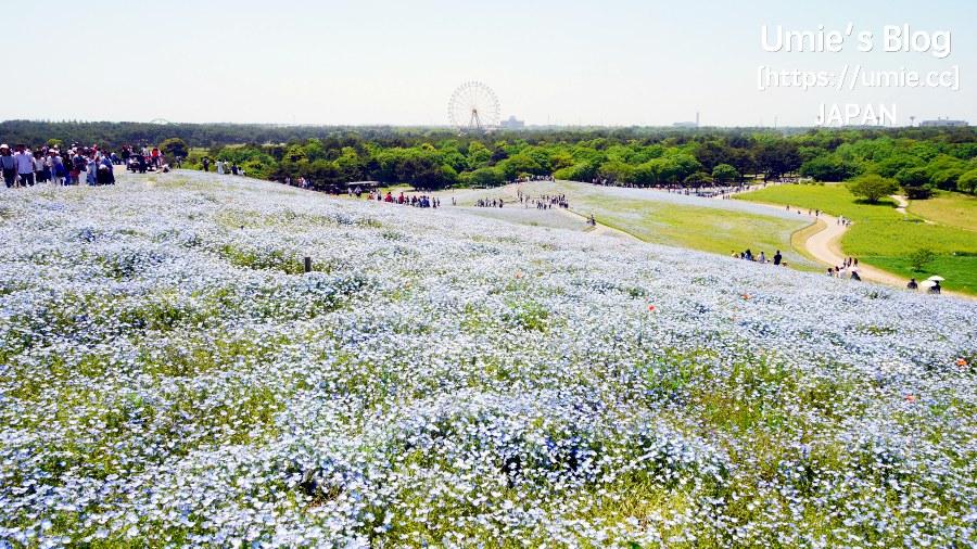 日本自助旅行-東京週邊觀光|茨城縣(Ibaraki)|初夏賞花,超夢幻粉蝶花、紫藤花 :)