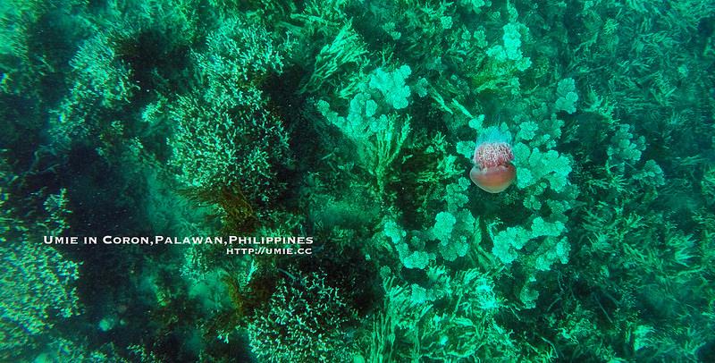 20150613-14 浮潛/魚風暴/魚球 El Rio Y Mar resort,coron,palawan,philippines 一島一飯店,菲律賓巴拉望科隆